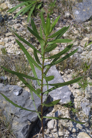 Image http://bioimages.vanderbilt.edu/lq/baskauf/wgrla3-lftwisted12820.jpg