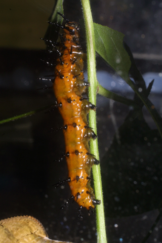 Image http://bioimages.vanderbilt.edu/lq/baskauf/wgulf-frit-larva-side29195.jpg