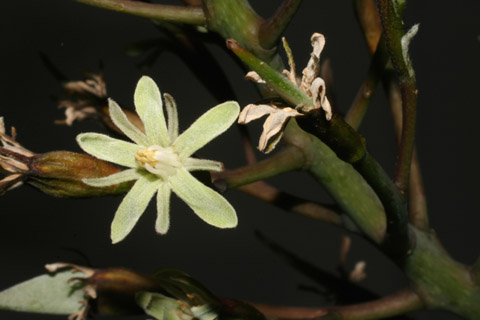 Image http://bioimages.vanderbilt.edu/lq/baskauf/wgydi--flfront51706.jpg