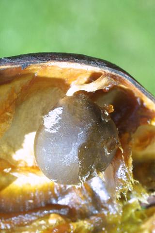 Image http://bioimages.vanderbilt.edu/lq/baskauf/wgydi--frseed24265.jpg
