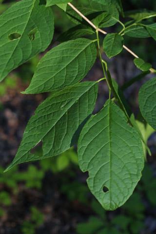 Image http://bioimages.vanderbilt.edu/lq/baskauf/whate3-lfseveral11595.jpg