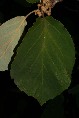 Image http://bioimages.vanderbilt.edu/lq/baskauf/whave2-lf55781.jpg