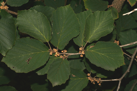 Image http://bioimages.vanderbilt.edu/lq/baskauf/whave2-lfseveral55786.jpg