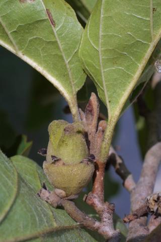 Image http://bioimages.vanderbilt.edu/lq/baskauf/whavi4-fr15503.jpg