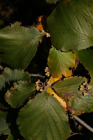 Image http://bioimages.vanderbilt.edu/lq/baskauf/whavi4-lfseveral55800.jpg
