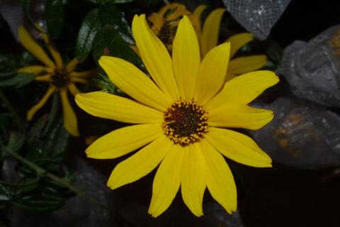 Image http://bioimages.vanderbilt.edu/lq/baskauf/whean2-flfront43877.jpg