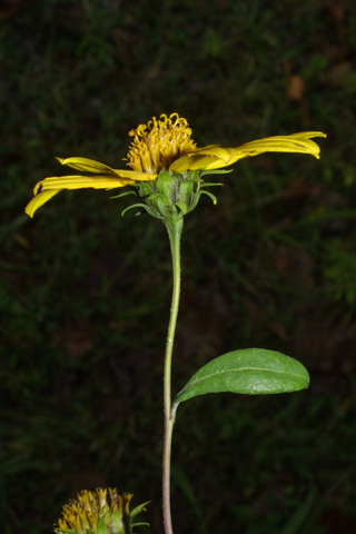 Image http://bioimages.vanderbilt.edu/gq/baskauf/gheeg--flside38350.jpg