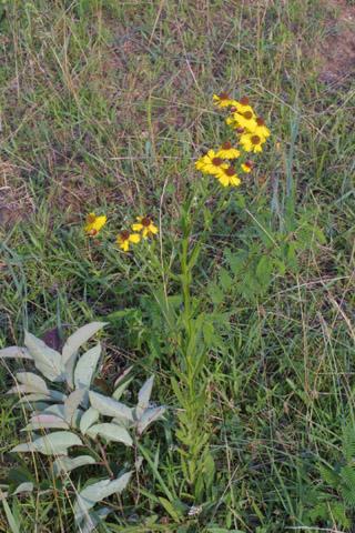 Image http://bioimages.vanderbilt.edu/lq/baskauf/whefl--wp13521.jpg