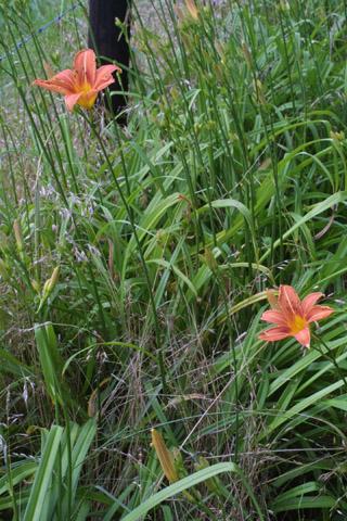 Image http://bioimages.vanderbilt.edu/lq/baskauf/whefu--wp27091.jpg