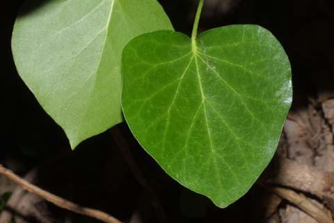 Image http://bioimages.vanderbilt.edu/lq/baskauf/whehe--lfround28263.jpg