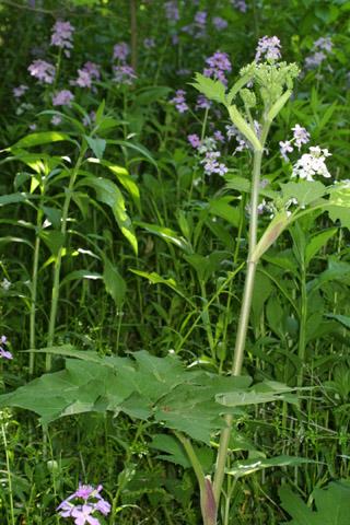 Image http://bioimages.vanderbilt.edu/lq/baskauf/whema80wp39888.jpg