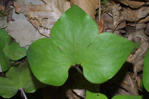 Image http://bioimages.vanderbilt.edu/lq/baskauf/whenoa-lf33854.jpg