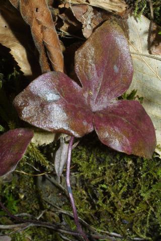 Image http://bioimages.vanderbilt.edu/lq/baskauf/whenoa-lfold31355.jpg