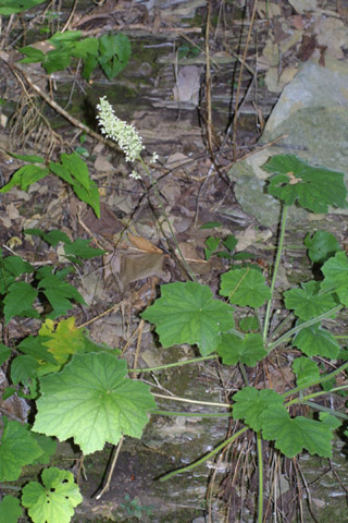 Image http://bioimages.vanderbilt.edu/lq/baskauf/whevi2-fl37844.jpg
