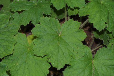 Image http://bioimages.vanderbilt.edu/lq/baskauf/whevi2-lf34794.jpg