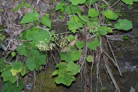 Image http://bioimages.vanderbilt.edu/lq/baskauf/whevi2-wp36555.jpg