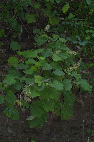 Image http://bioimages.vanderbilt.edu/lq/baskauf/whevi2-wp36572.jpg