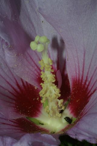 Image http://bioimages.vanderbilt.edu/lq/baskauf/whisy--flclose28246.jpg