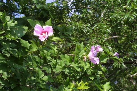 Image http://bioimages.vanderbilt.edu/lq/baskauf/whisy--flinflor28225.jpg