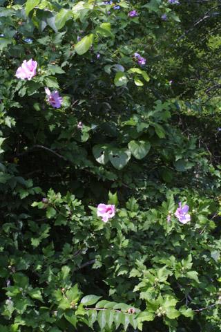 Image http://bioimages.vanderbilt.edu/lq/baskauf/whisy--wpin-flower28229.jpg