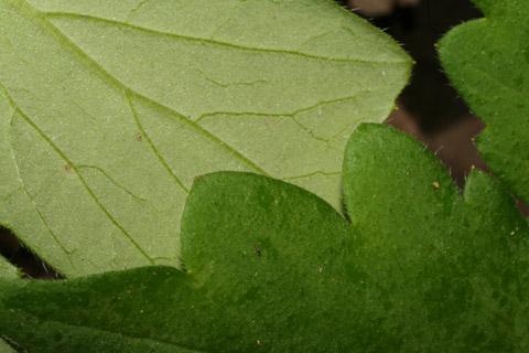 Image http://bioimages.vanderbilt.edu/lq/baskauf/whyap--lfmargin-uplow51887.jpg