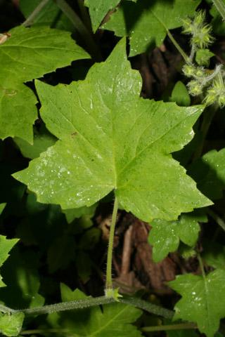 Image http://bioimages.vanderbilt.edu/lq/baskauf/whyap--lfstem51878.jpg