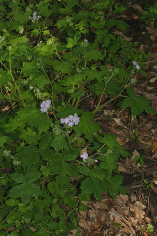 Image http://bioimages.vanderbilt.edu/lq/baskauf/whyap--wp51856.jpg