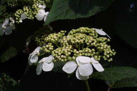Image http://bioimages.vanderbilt.edu/gq/baskauf/ghyar--flinflor12107.jpg