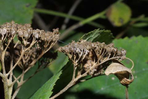 Image http://bioimages.vanderbilt.edu/lq/baskauf/whyar--frside30386.jpg
