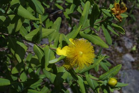 Image http://bioimages.vanderbilt.edu/lq/baskauf/whyfr--flbud12948.jpg