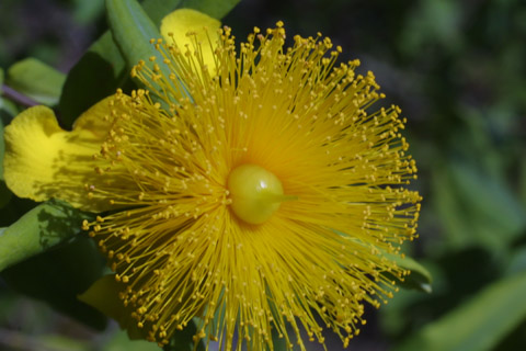 Image http://bioimages.vanderbilt.edu/lq/baskauf/whyfr--flcloseup12946.jpg