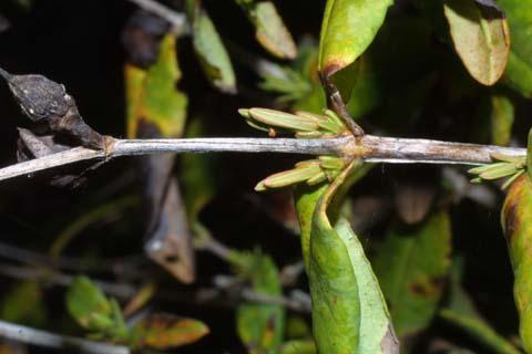 Image http://bioimages.vanderbilt.edu/lq/baskauf/whyfr--tw30029.jpg