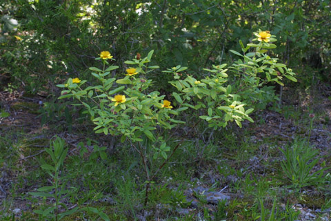 Image http://bioimages.vanderbilt.edu/lq/baskauf/whyfr--wpshrub12850.jpg