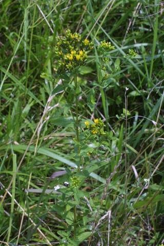 Image http://bioimages.vanderbilt.edu/lq/baskauf/whypu--wp27945.jpg