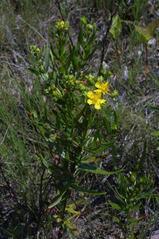 Image http://bioimages.vanderbilt.edu/lq/baskauf/whysp2-wp12741.jpg
