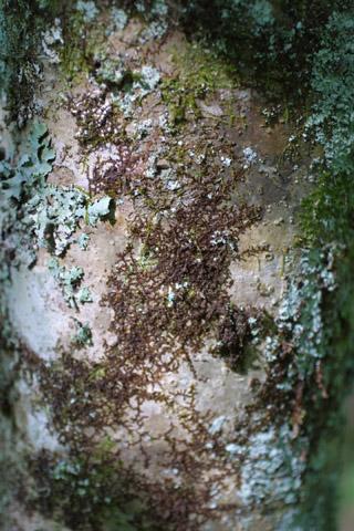 Image http://bioimages.vanderbilt.edu/lq/baskauf/wilop--br11598.jpg