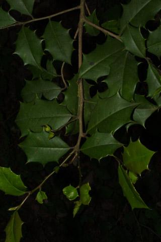 Image http://bioimages.vanderbilt.edu/lq/baskauf/wilop--lfseveral39717.jpg