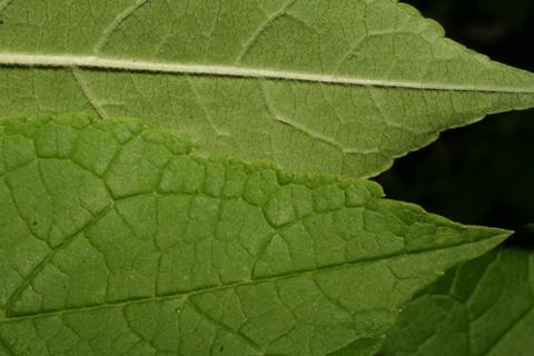 Image http://bioimages.vanderbilt.edu/lq/baskauf/wilve--lfmargin-uplow58506.jpg