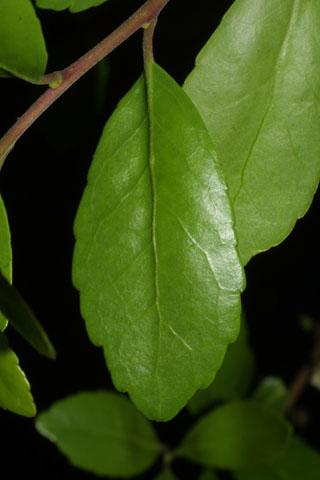 Image http://bioimages.vanderbilt.edu/lq/baskauf/wilvo--lf33907.jpg