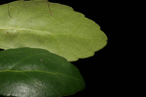 Image http://bioimages.vanderbilt.edu/lq/baskauf/wilvo--lfmargin-uplow52516.jpg