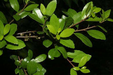 Image http://bioimages.vanderbilt.edu/lq/baskauf/wilvo--lfseveral33906.jpg