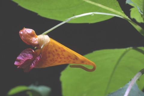 Image http://bioimages.vanderbilt.edu/lq/baskauf/wimca--flclose-side12591.jpg