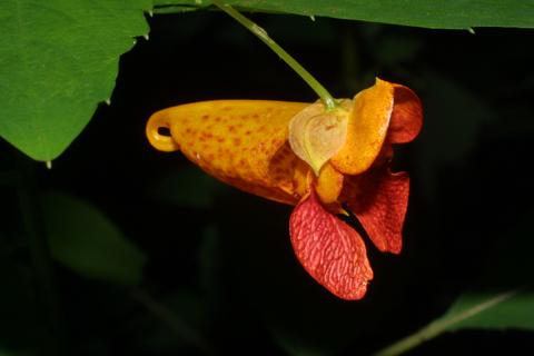 Image http://bioimages.vanderbilt.edu/lq/baskauf/wimca--flside27471.jpg