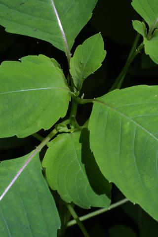 Image http://bioimages.vanderbilt.edu/lq/baskauf/wimca--st12613.jpg