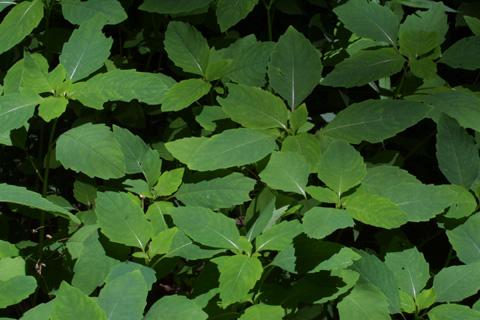 Image http://bioimages.vanderbilt.edu/lq/baskauf/wimca--wpcolony12606.jpg