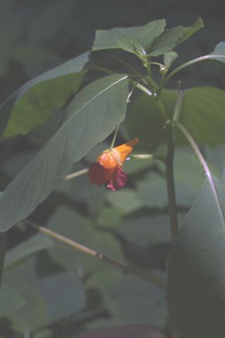 Image http://bioimages.vanderbilt.edu/lq/baskauf/wimca--wpin-flower12595.jpg