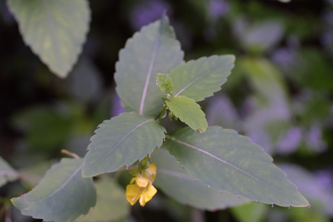 Image http://bioimages.vanderbilt.edu/lq/baskauf/wimpa--lf13629.jpg