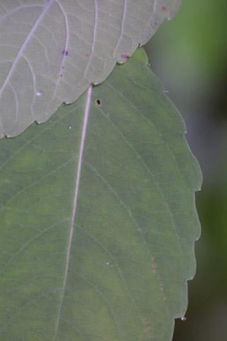 Image http://bioimages.vanderbilt.edu/lq/baskauf/wimpa--lfmargin-uplow13632.jpg