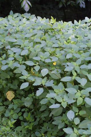 Image http://bioimages.vanderbilt.edu/lq/baskauf/wimpa--wpmass28838.jpg