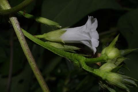 Image http://bioimages.vanderbilt.edu/lq/baskauf/wipla--flside29420.jpg